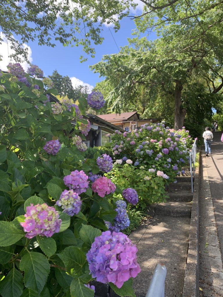 資福寺の紫陽花1
